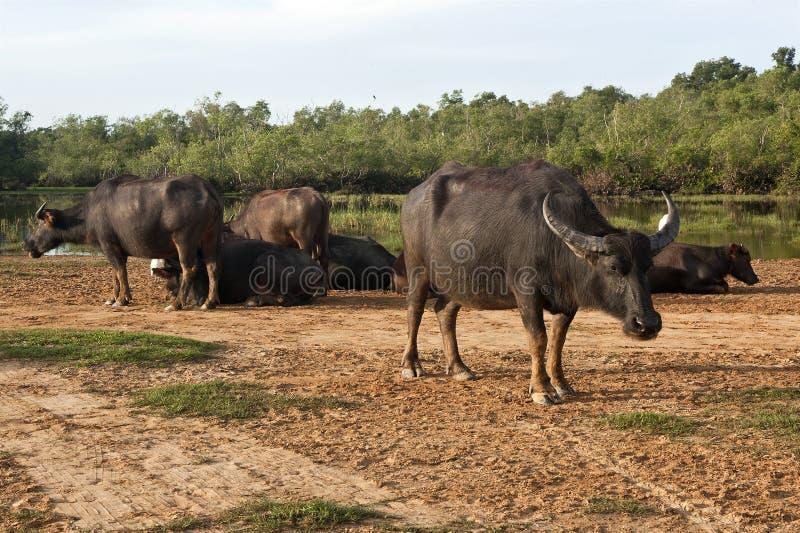 Buffelsmilitair royalty-vrije stock fotografie