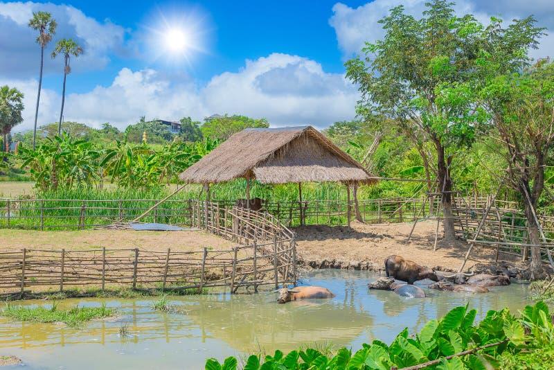 Buffelsplattelandshuisje met mening van het de vijver de Aziatische landelijke platteland van de watermodder openlucht royalty-vrije stock foto