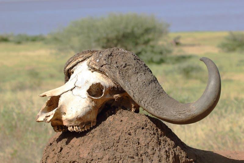Buffelsschedel op een hoop van aarde royalty-vrije stock afbeelding