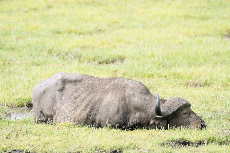 buffelswampvadande royaltyfria bilder