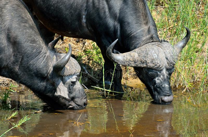 Bufflar i den Kruger nationalparken, Sydafrika arkivbild