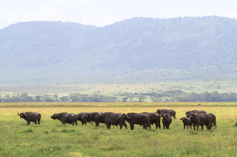 Bufflar inom en vulkan Ngorongoro Tanzania royaltyfri fotografi