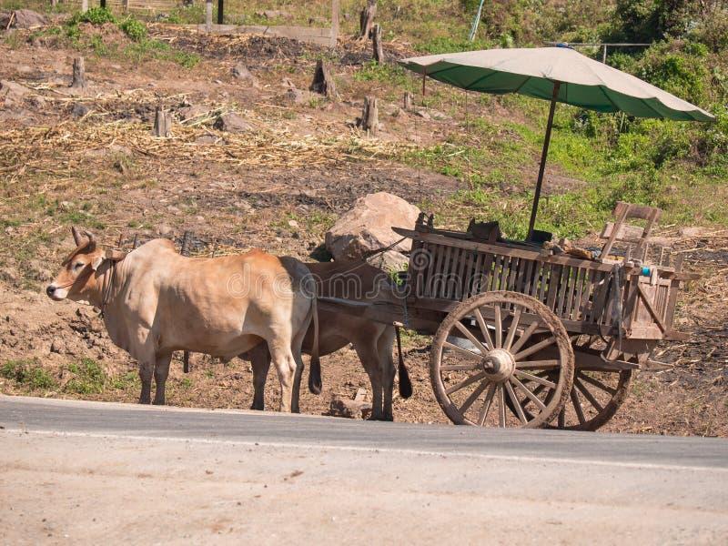 Bufflar med en trävagns- och paraplyställning i vägen mot bakgrunden av land med stubbar royaltyfri fotografi