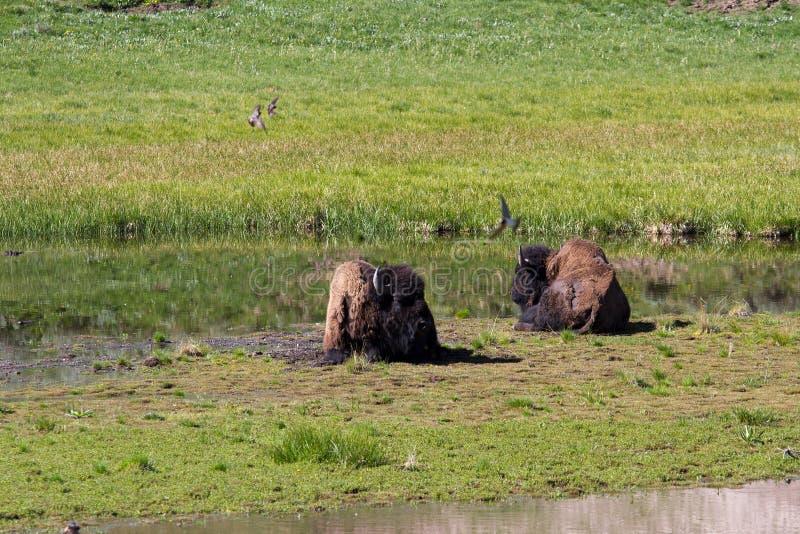 bufflar yellowstone royaltyfri bild