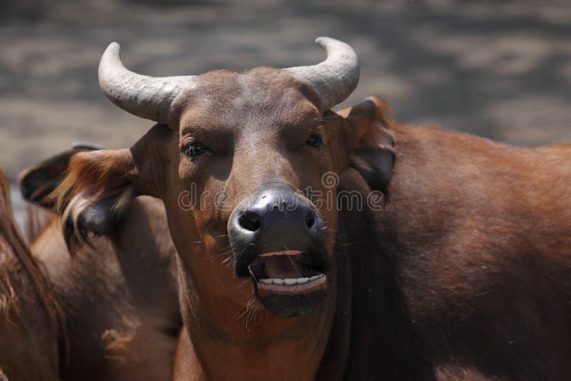 Buffle africain de forêt image libre de droits