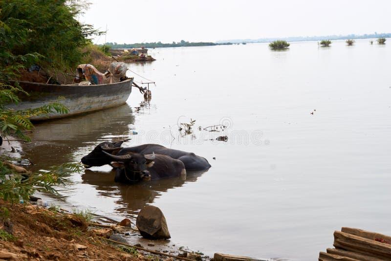 Buffle d'eau aux environs du Mekong dans Kratie, Cambodge photographie stock libre de droits
