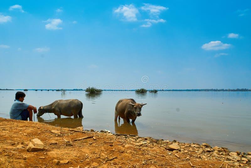 Buffle d'eau aux environs du Mekong dans Kratie, Cambodge photo libre de droits