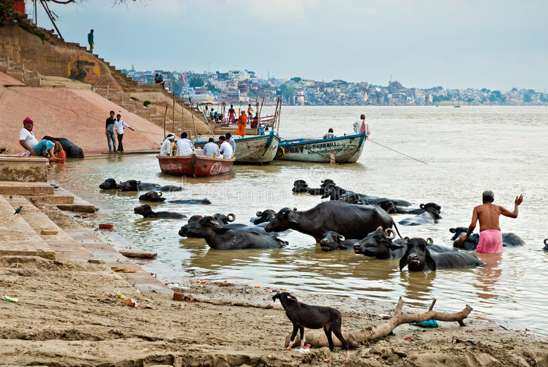 Buffle d'eau de baignade au bord de mer de la rivière le Gange, le 1er octobre 2013, Varanasi, Inde photo stock