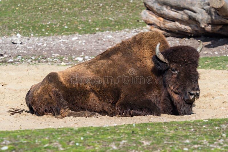 Buffle am?ricain connu sous le nom de bison, bison de Bos dans le zoo photographie stock libre de droits