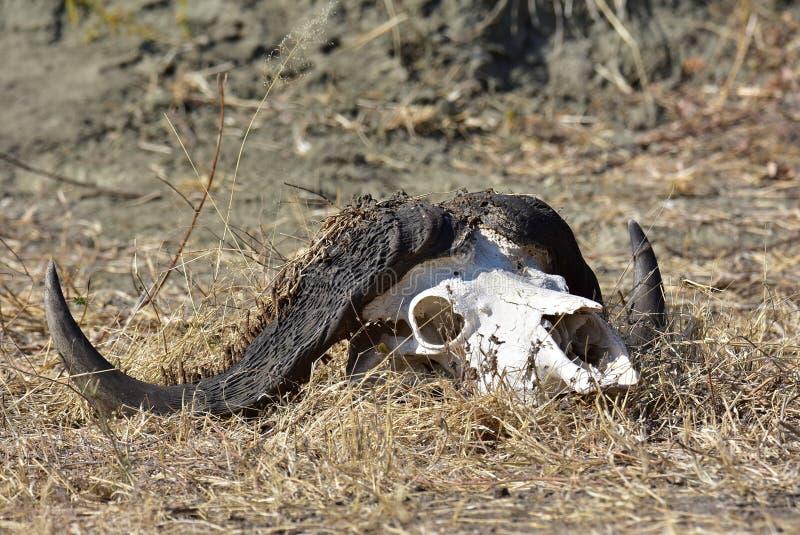 Buffle squelettique photo stock