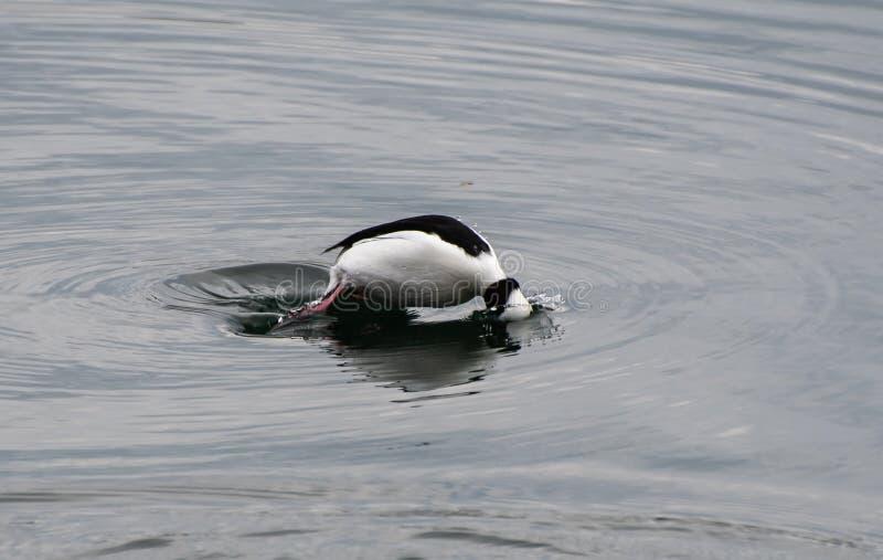 Bufflehead Duck Diving royalty free stock photo