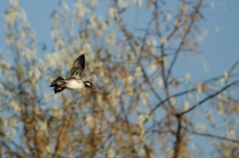 Bufflehead Duck Flying Past Autumn Trees fotografía de archivo libre de regalías