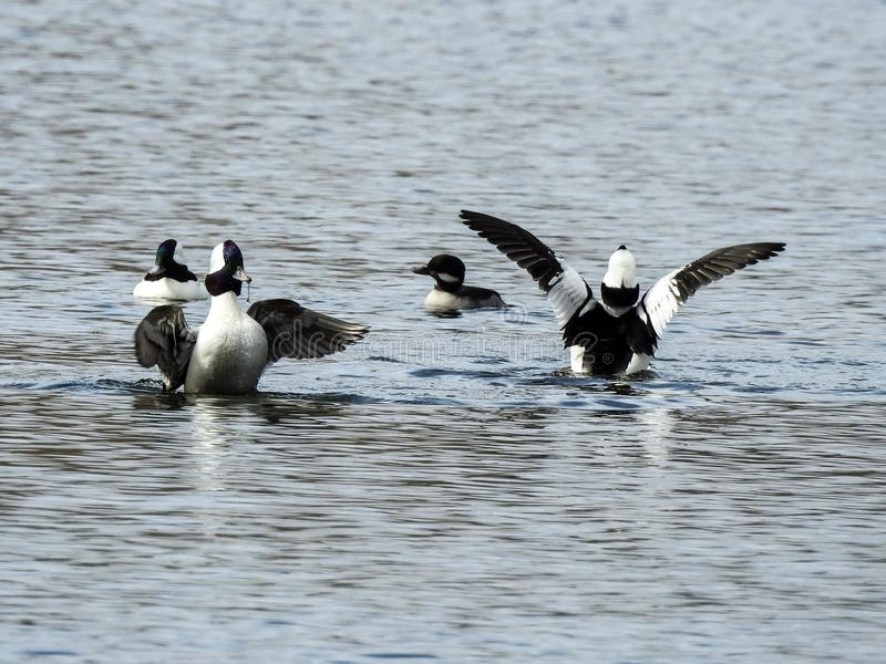 Buffleheads Stretching Their Wings on A Rockland Lake royalty free stock image