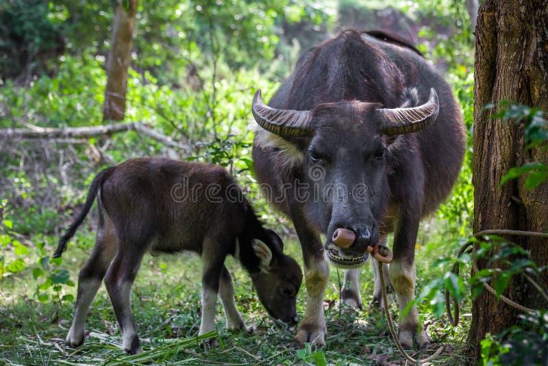 Buffles asiatiques dans un domaine de campagne du Vietnam du Nord photos stock