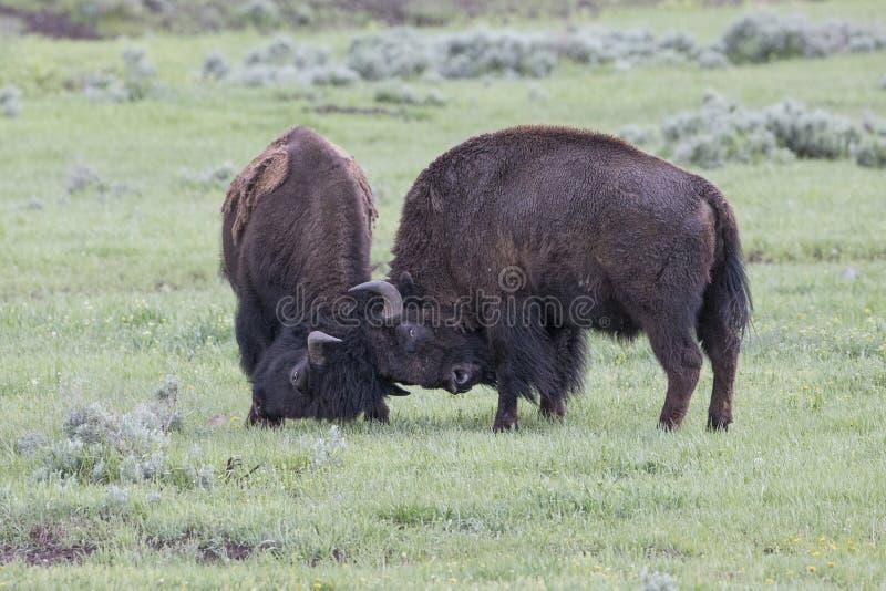 Buffles de combat de taureau de jeu photographie stock libre de droits