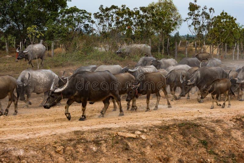 Buffles sauvages dans les eaux du M?kong au Cambodge, Asie images libres de droits