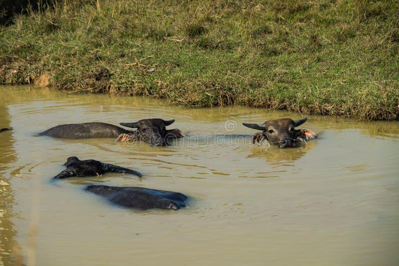 Buffles sauvages dans les eaux du M?kong pr?s de la fronti?re cambodgienne photographie stock