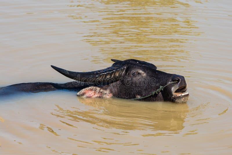 Buffles sauvages dans les eaux du M?kong pr?s de la fronti?re cambodgienne images libres de droits