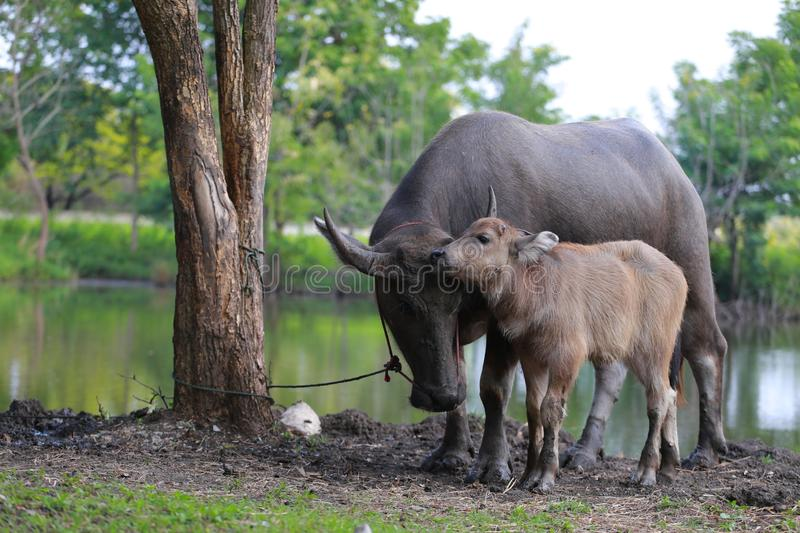 Bufflo at northern of Thailand walking at the field of grass. royalty free stock image