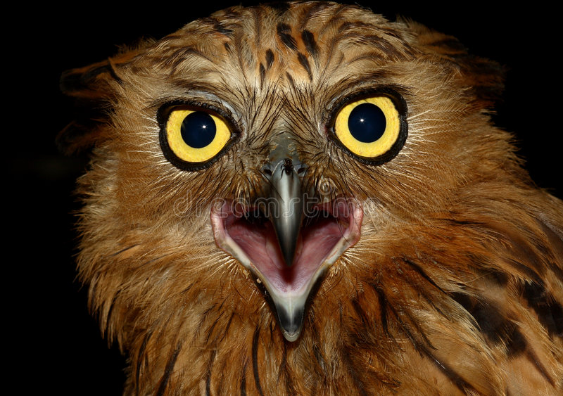 Download Buffy Fish Owl stock photo. Image of feathers, animals - 2904270