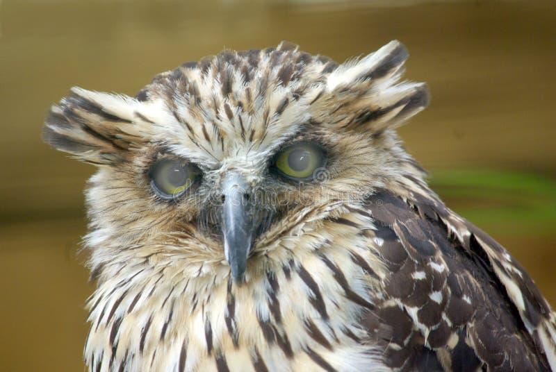 Buffy Fish Owl stock image