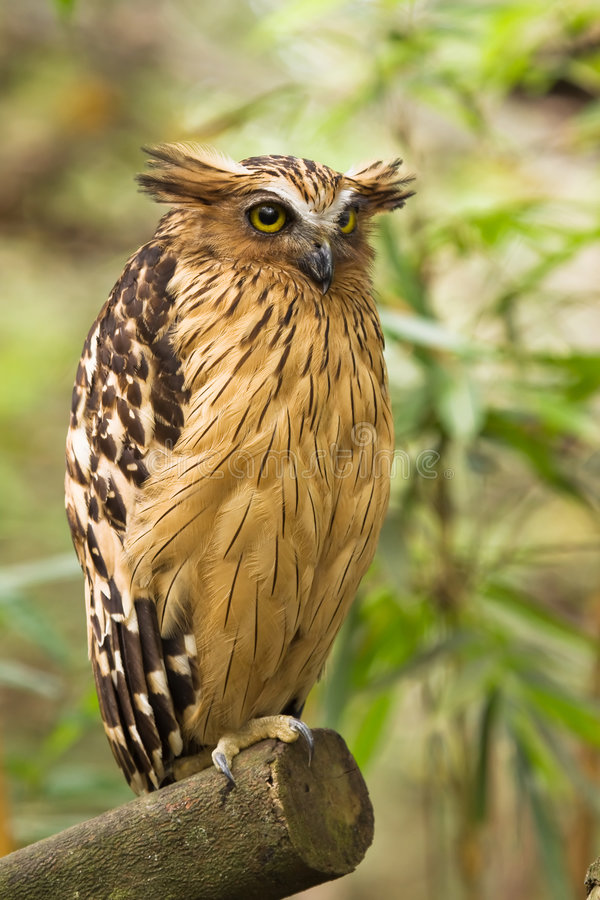 Buffy Fish Owl royalty free stock photo