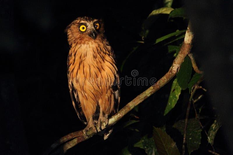 Buffy Fish Owl ativa na noite observando os bancos do rio de Kinabatangan fotos de stock