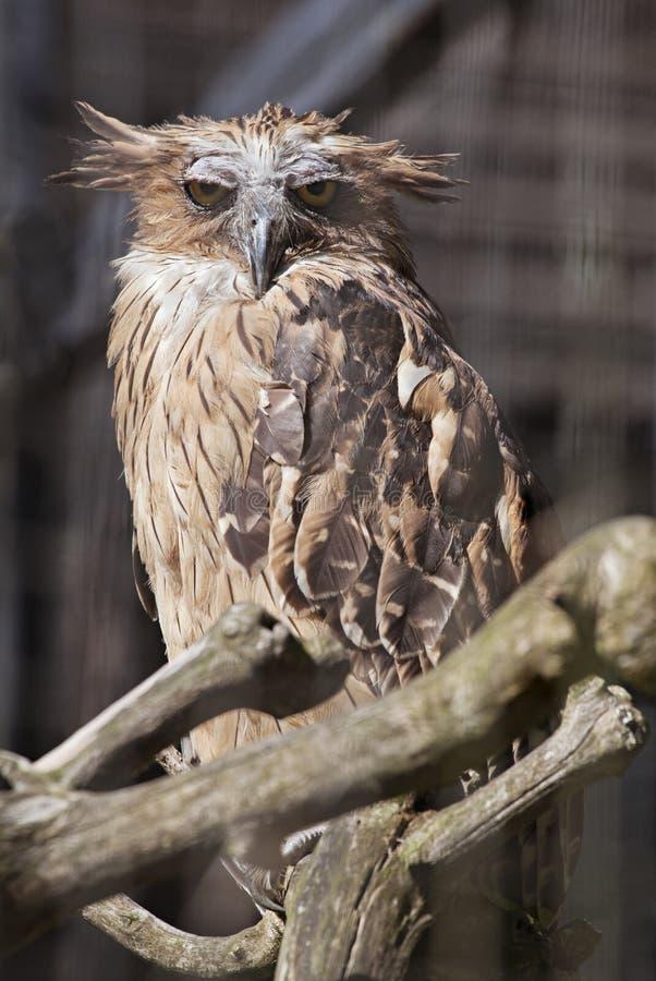 Buffy fish owl royalty free stock photos