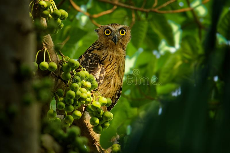 Buffy Fish Owl - o ketupu de Ketupa conhecido como a coruja malaio dos peixes, é uma espécie de coruja no Strigidae da família fotos de stock