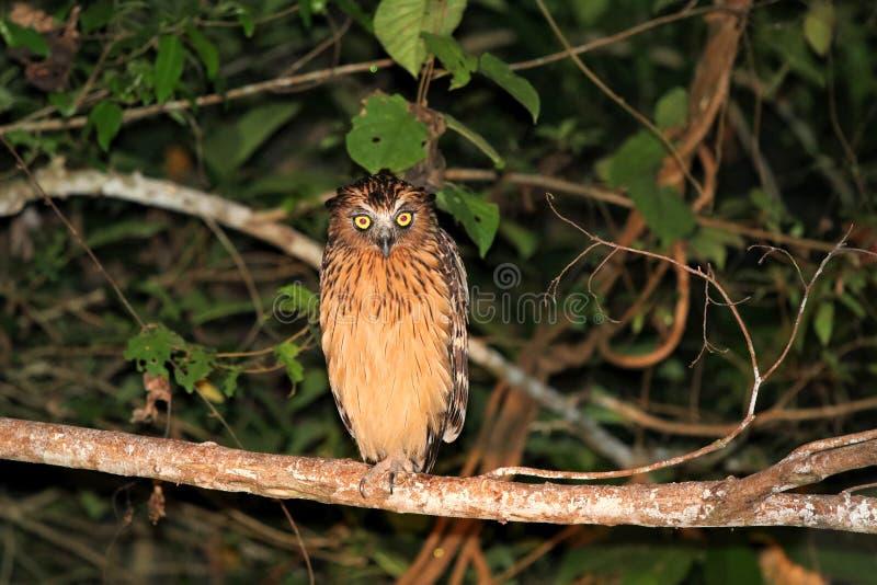Buffy fiskugglaKetupa ketupu p? natten - Borneo Malaysia Asien fotografering för bildbyråer