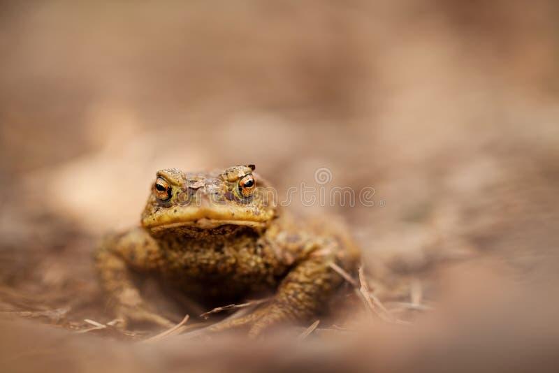 Bufo Bufo древесина песни природы влюбленности grouse одичалая красивейшее изображение Природа чехии Лягушка От жизни лягушки Жив стоковая фотография
