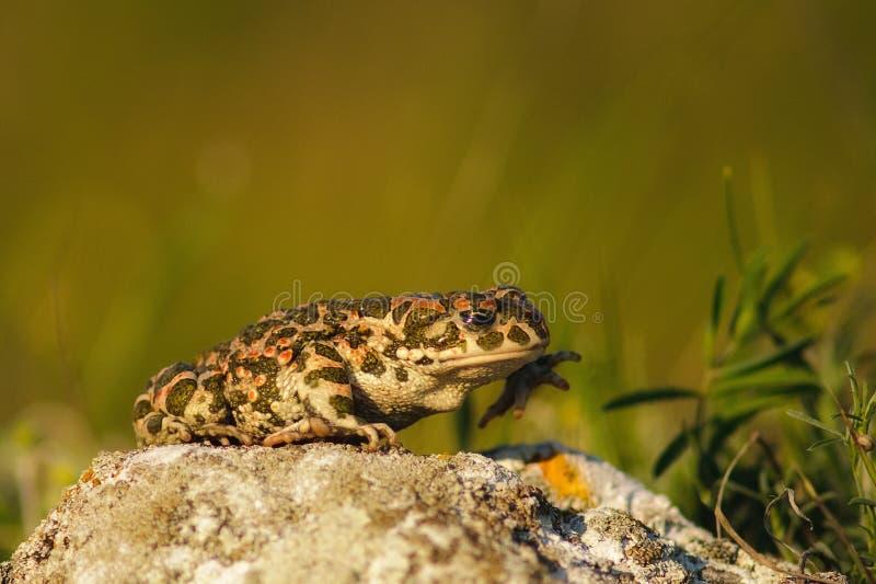 Bufo Bufo общая жаба, европейская жаба стоковые фотографии rf