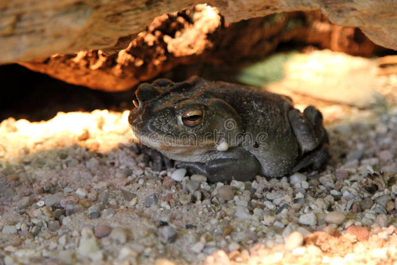 Bufo alvarius. Colorado River toad Incilius Bufo alvarius stock photos