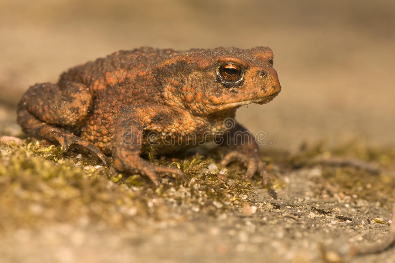 Download Bufo bufo stock photo. Image of closeup, frog, amphibian - 19597000