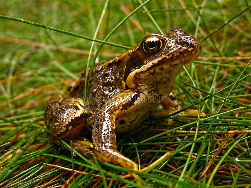 Download Bufo bufo stock photo. Image of predator, frog, alone - 36701066