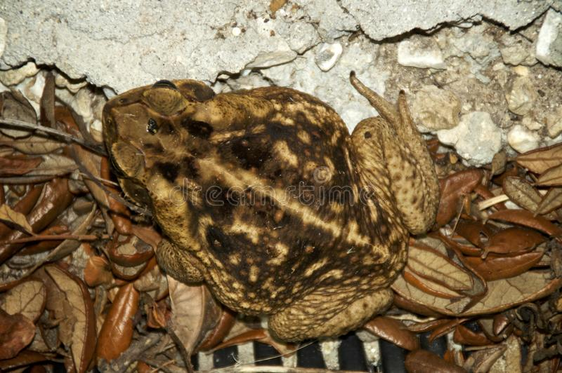 Top view of large poisonous cane toad. Bufo marinus, Rhinella marina also known as cane, marine and giant toad is a large poisonous toad its toxins can cause stock photos