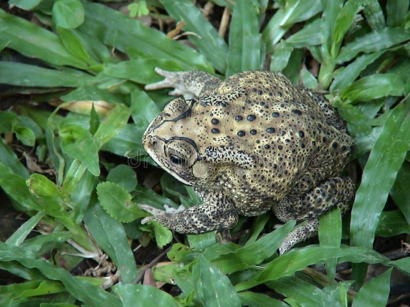 Bufo-melanostictus stockbild