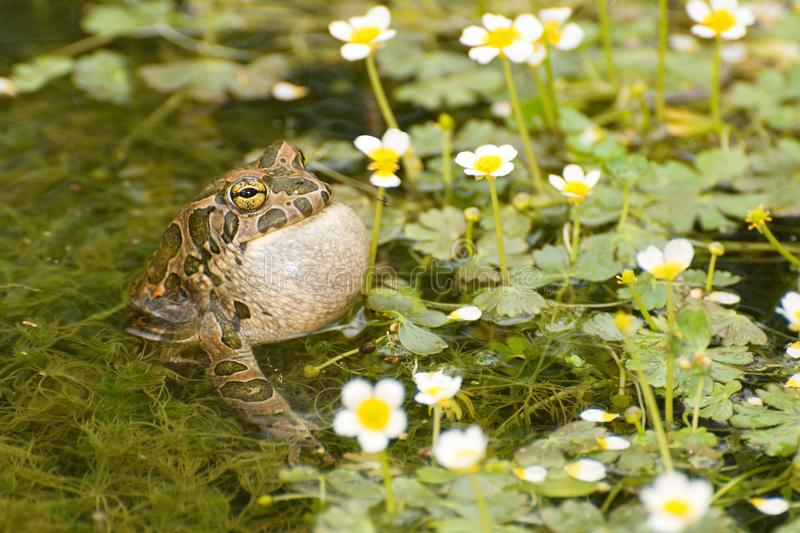 Bufo viridis. Singing frogs Bufo viridis is echoed in the spring royalty free stock images