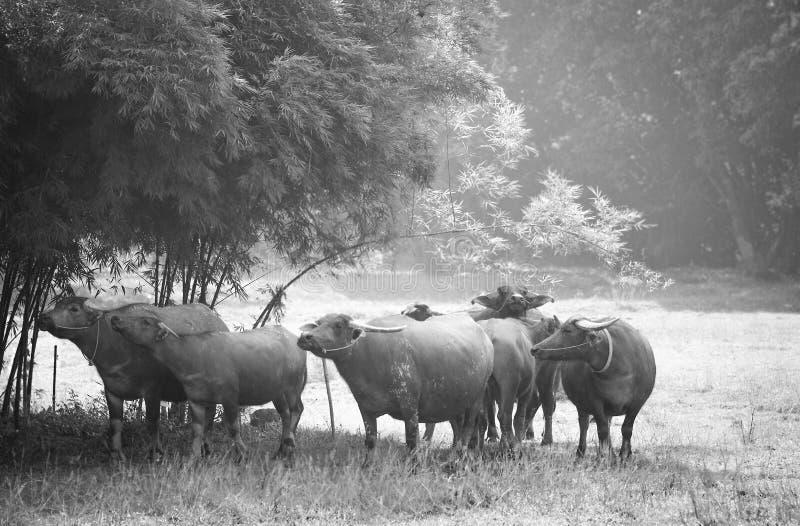 Bufones tailandeses en pradera en escala de grises fotos de archivo libres de regalías