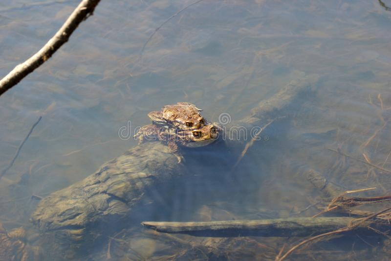 Bufopadden die in de lente bruine gemeenschappelijke pad in een rivier, mannetje en wijfje koppelen royalty-vrije stock afbeeldingen