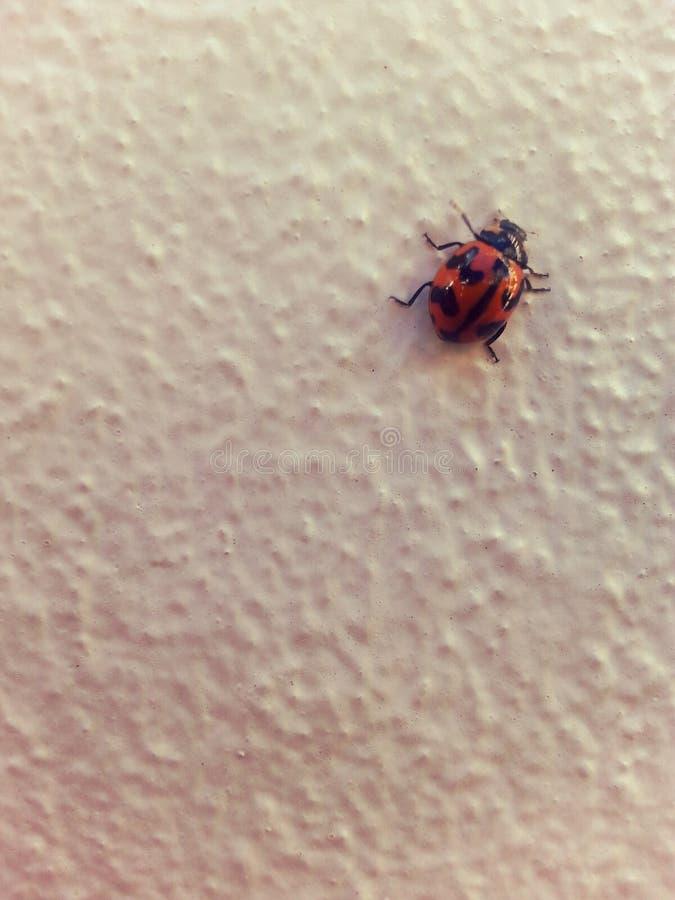 Bug夫人爬行 免版税库存照片