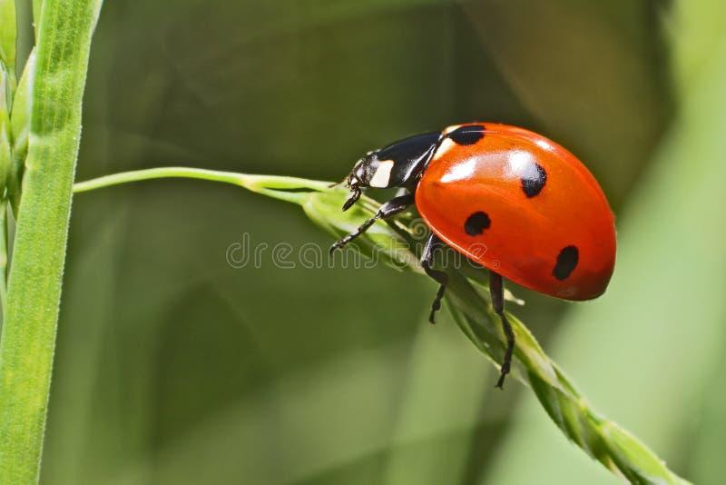 bug夫人 免版税库存图片