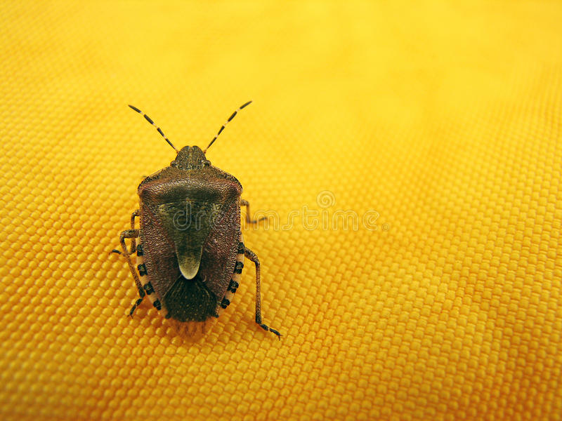 Bug royalty free stock photography