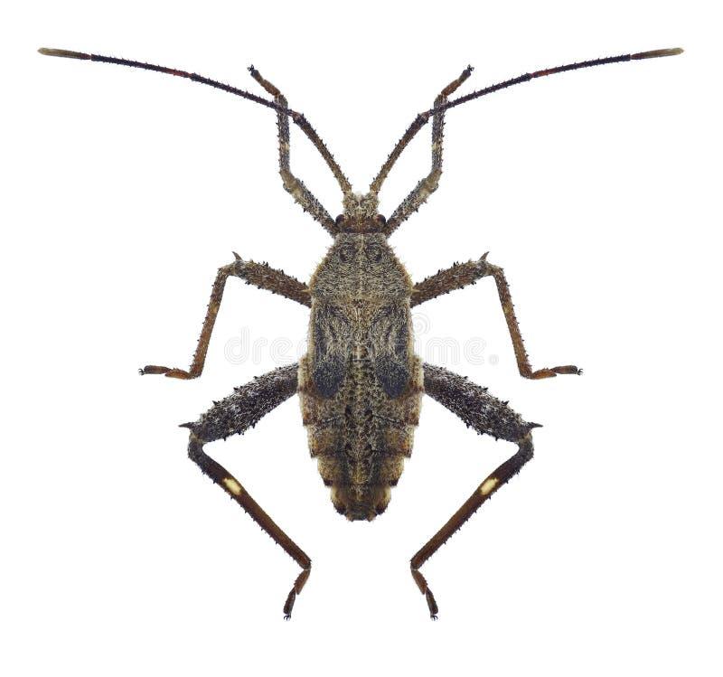 Bug Acanthocoris scaber. On a white background royalty free stock photos