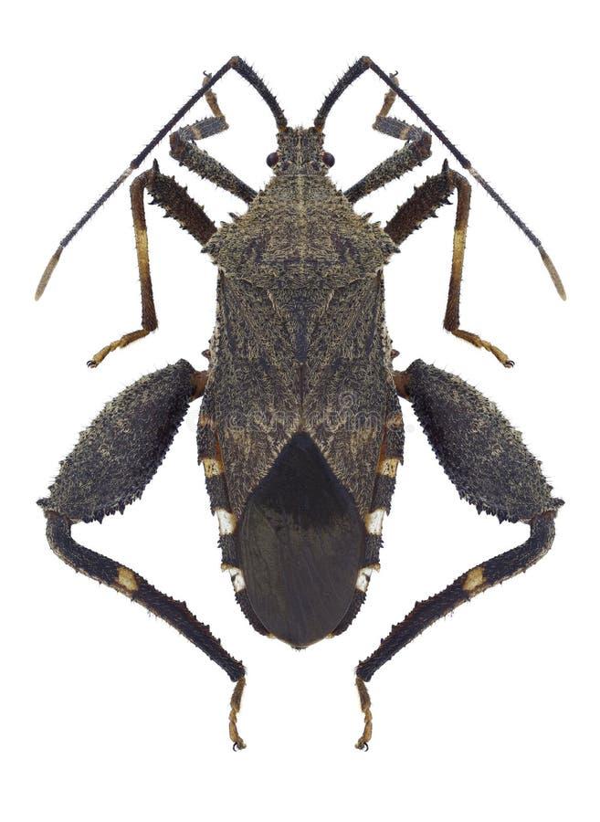 Bug Acanthocoris scaber. On a white background stock photo