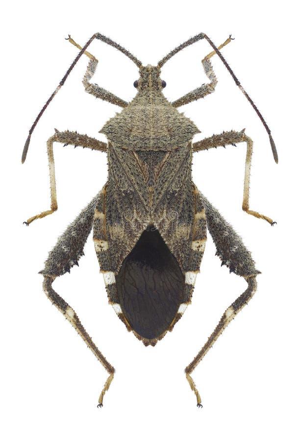 Bug Acanthocoris scaber. On a white background stock image
