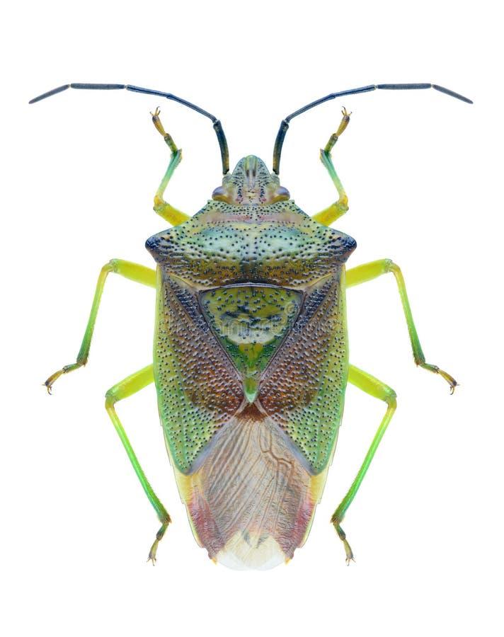 Free Bug Acanthosoma Haemorrhoidale Stock Image - 81350141