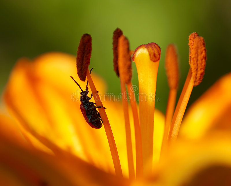 Bug on the bloom. Detail (close-up) of the bug at bloom royalty free stock image