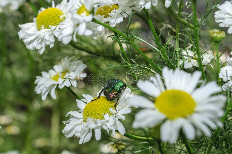 The bug Cetonia aurata or Rose chafer on chamomile in the garden. The bug on the white daisy flower. Close-up royalty free stock photos