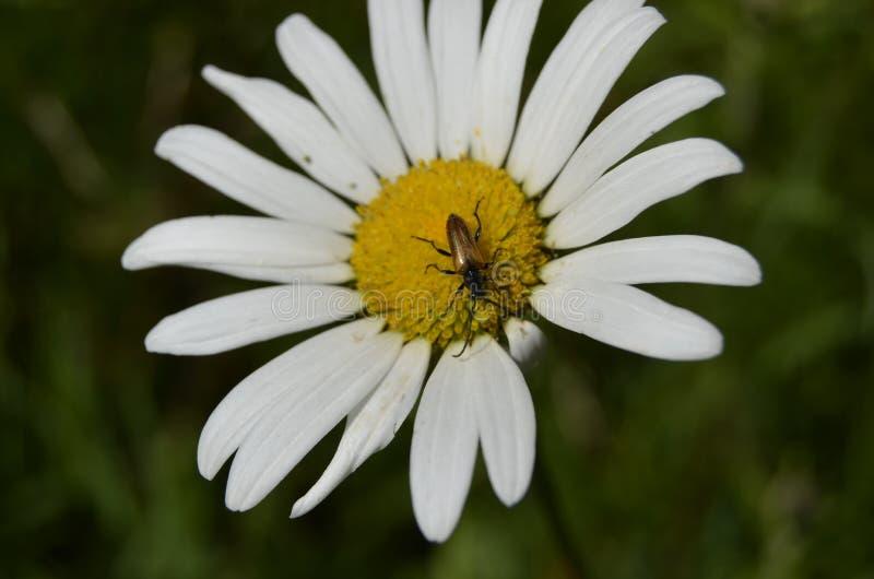 Bug on daisy royalty free stock photo